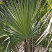Palms_and_cycads_acoelorrhaphe_wrightii.thumb