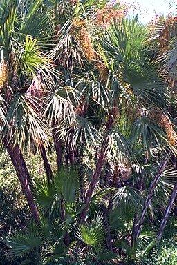 Palms_and_cycads_acoelorrhaphe_wrightii-1.full