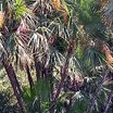 Palms_and_cycads_acoelorrhaphe_wrightii-1.thumb