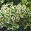 Birch_betula_nigra_shiloh_splash_pp16_362.thumb