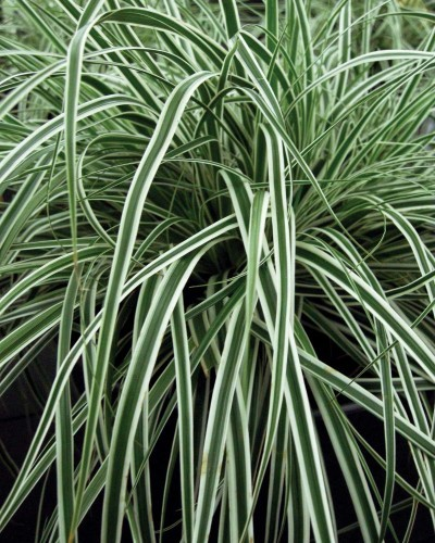 Rushes_and_sedges_carex_oshimensis_everest_pp20_955.full