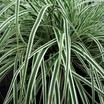 Sedge, Variegated Japanese 'Everest'
