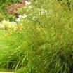 Bamboo, 'Rufa'