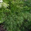 Bamboo, Scabrida