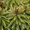 Euphorbia, 'Ascot Rainbow'