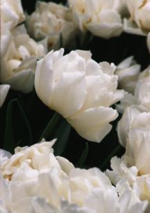 Tulips_tulipa_schoonoord-1.full