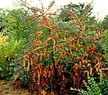 Sea Berry, 'Frugana'