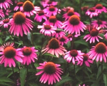 Purple_coneflower_echinacea_purpurea_bright_star-1.full