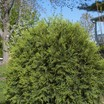 Conifers_thuja_occidentalis_bailjohn_pp15_850.thumb