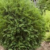 Conifers_thuja_occidentalis_bailjohn_pp15_850-2.thumb
