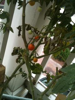 husky cherry tomato plant, @45 days