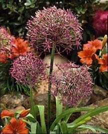 Alliums_allium_christophii-1.full