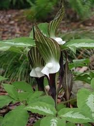 Bulbs_arisaema_sikokianum.full