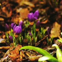 Crocus, Spring Flowering 'Tricolor'