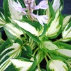 Hostas_hosta_trifecta-1.thumb