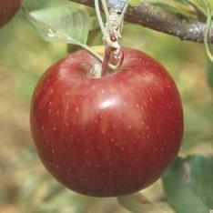 Apples_malus_red_bouquet.full