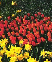Tulips_tulipa_general_de_wet-1.full