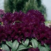 Rhododendron, 'Polarnacht'