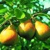 Pear Tree, Stark® Honeysweet dwarf