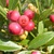 Berries: Vaccinium 'Pink Lemonade'
