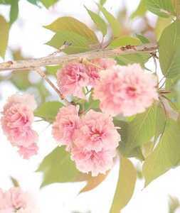 'Kwanzan' Cherry