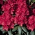 Trees and Shrubs: Rhododendron, 'Trocodero' Hachmann
