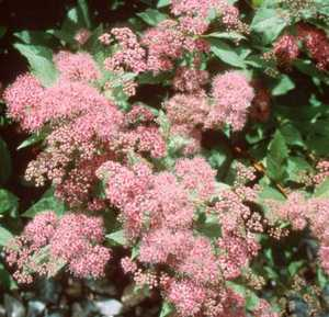 Spiraea, 'Anthony Waterer'