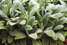 Lamb's Ears, 'Silver Carpet'