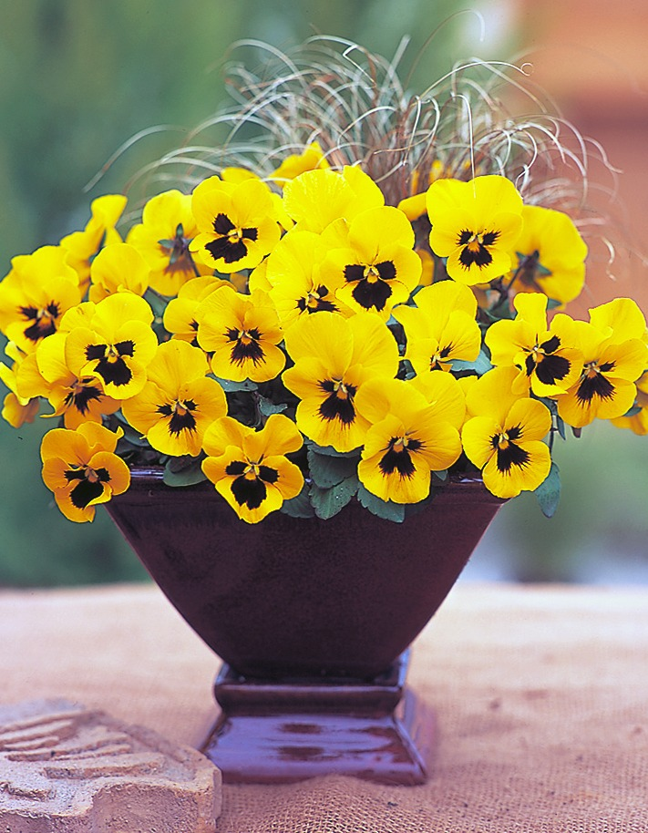 Pansies_viola_x_wittrockiana_f1_nature_yellow_with_blotch.full