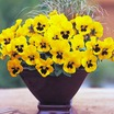 Pansies_viola_x_wittrockiana_f1_nature_yellow_with_blotch.thumb