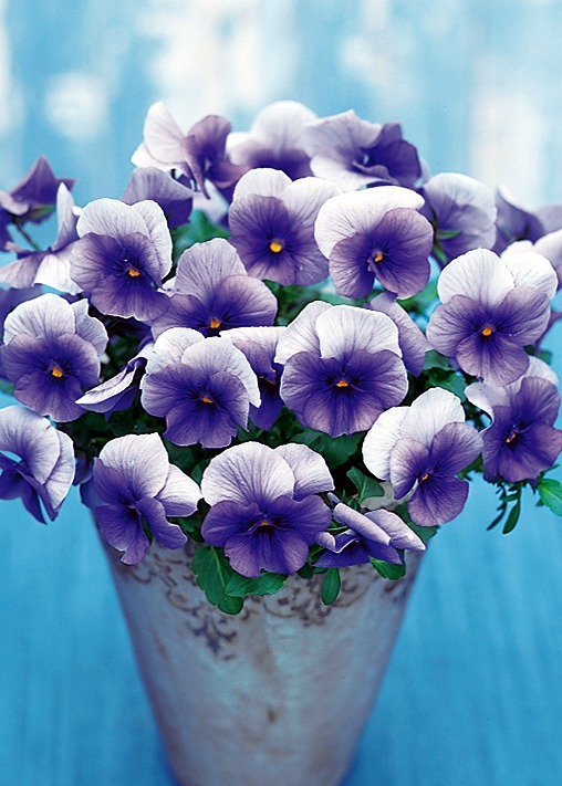 Pansies_viola_x_wittrockiana_f1_nature_frosty_blue.full