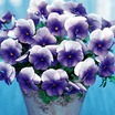 Pansies_viola_x_wittrockiana_f1_nature_frosty_blue.thumb