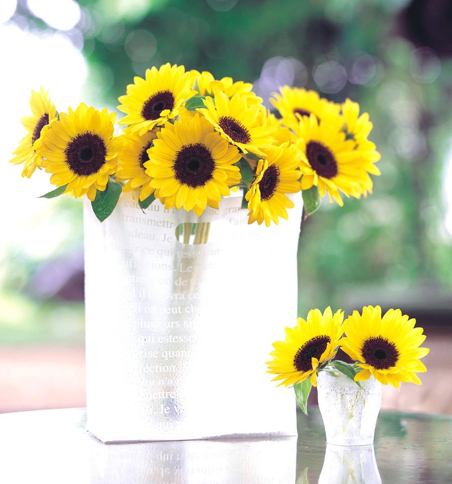 Sunflowers_helianthus_annuus_f1_sunrich_lemon_summer.full
