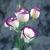 Lisianthus_eustoma_grandiflora_lisianthus_f1_vulcan_purple_picotee-1.small