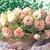 Lisianthus_eustoma_grandiflora_lisianthus_f1_arena_iii_champagne.small