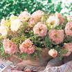 Lisianthus_eustoma_grandiflora_lisianthus_f1_arena_iii_champagne.thumb
