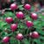 Annuals: Gomphrena globosa 'Audray Bicolor Rose'