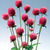Annuals: Gomphrena globosa 'Audray Pink'