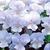 Violas: Viola x hybrida ' Gem Heavenly Blue'
