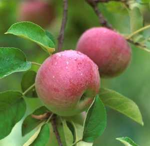 Apples_malus_domestica_mcintosh-1.medium.detail