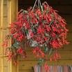 Begonias_begonia_boliviensis.thumb
