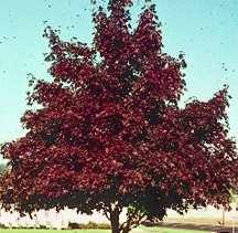 Maples Acer Platanoides Crimson King - Norway maple crimson king