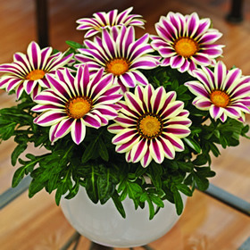 http://d3t0t2nqwmr1c9.cloudfront.net/photos/75601/Gazanias_Gazania_Big_Kiss_White_Flame_F1.medium.jpeg