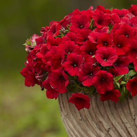 Petunia® 'Surfina Deep Red'
