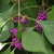 Beautyberry%202.small