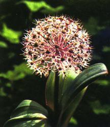 Allium, Ornamental karataviense