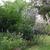 Perennials_ruellia_brittoniana_purple_showers.small