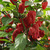 Peppers_capsicum_annuum_sweet_heat_hybrid-2.small