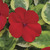 Impatiens_impatiens_walleriana_center_stage.small