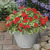 Impatiens_impatiens_walleriana_center_stage-1.small